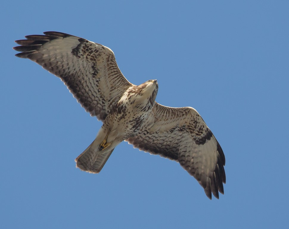 Buizerd 1 Medium